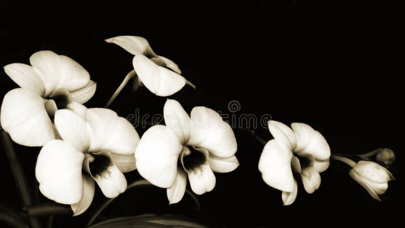 Sonate d'orchidées image stock