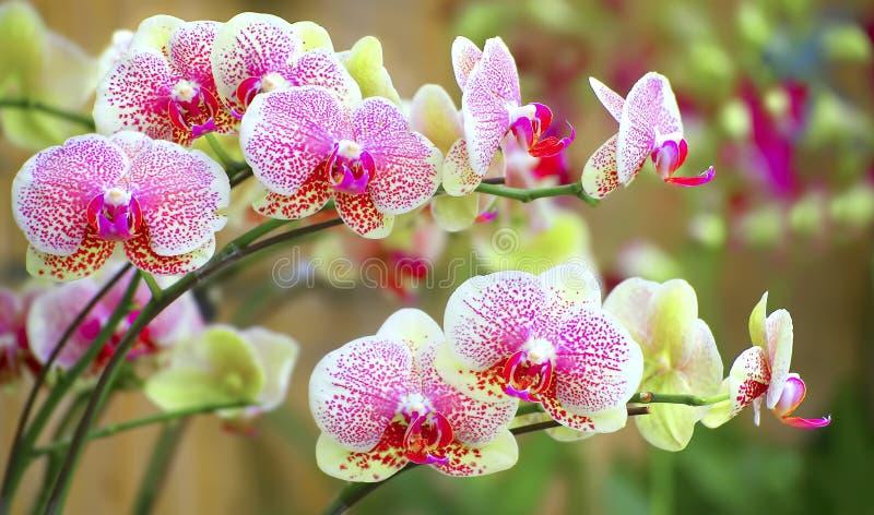 Sonate des orchidées vibrantes image libre de droits
