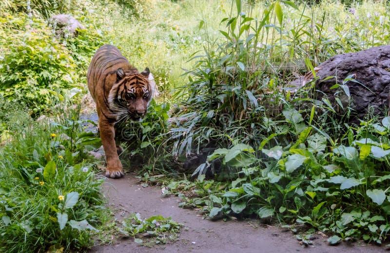 Sondaica du Tigre de Panthera de tigre de Sumatran descendant le chemin images stock
