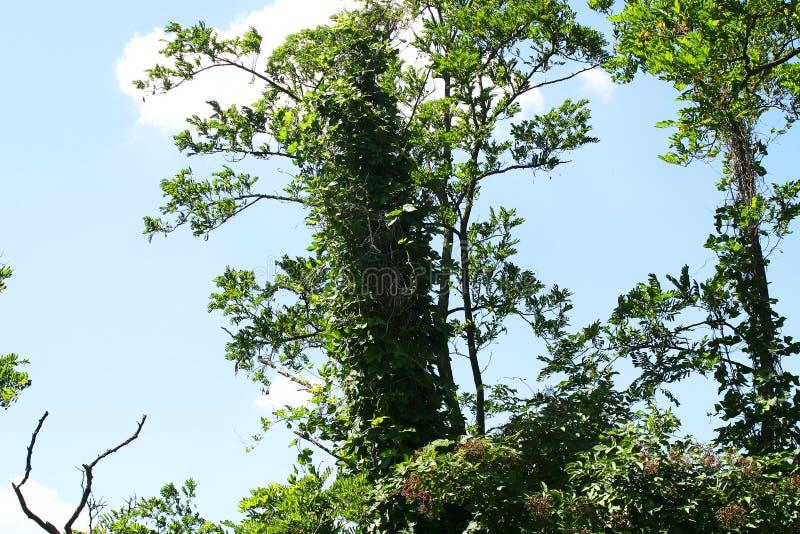 Sonderbarer Baum mit vollem von Blättern nahe dem Fluss, Himmel im backgr stockbild