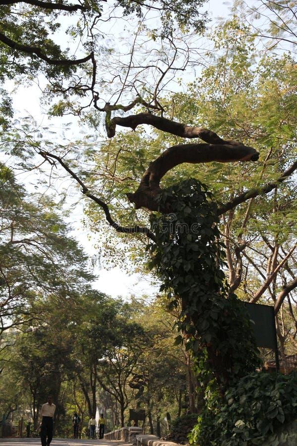 Sonderbarer geformter und enormer alter wilder Baum lizenzfreie stockfotografie