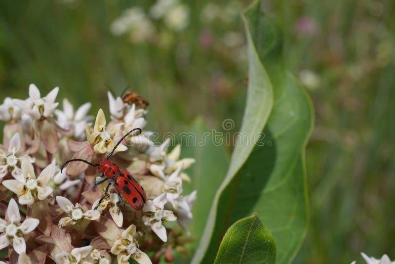 Sonderbarer roter Käfer mit schwarzen Flecken auf kleinen weißen Blumen lizenzfreie stockfotografie