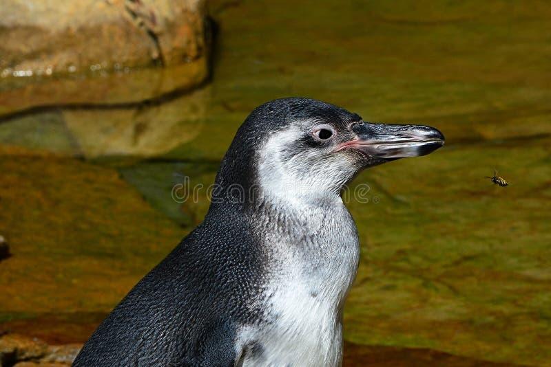 Sonderkommando des Kopfes von Humboldt-Pinguin Spheniscus humboldti mit Sozialwespe Vespula Germanica-Fliegen in Richtung zu ihm lizenzfreie stockfotos