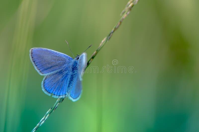 sondern Sie den blauen azurblauen Schmetterling aus, der auf einem Grashalm im Sommer in der horizontalen Ansicht über grüne Hint lizenzfreies stockfoto