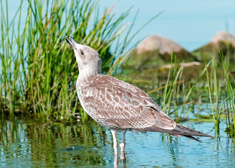 Sondern Sie den grauen Seemöwenvogel aus, der im blauen Wasser mit grünem Gras und Felsen steht und trinkt oder isst Schönes hell stockfotos