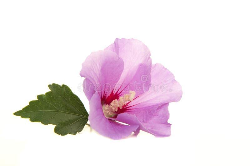 Sondern Sie rosa Hibiscusblume mit Blatt auf einem weißen Hintergrund aus stockbilder