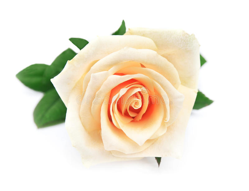 Download Sondern Sie Rosafarbenes Aus Stockbild - Bild von sahnig, blume: 27731341