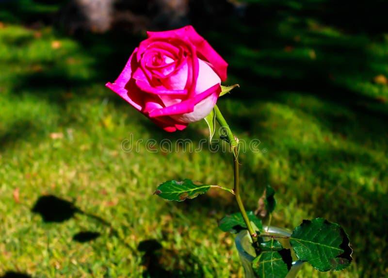 sondern Sie Rose des Rosas aus stockfotografie