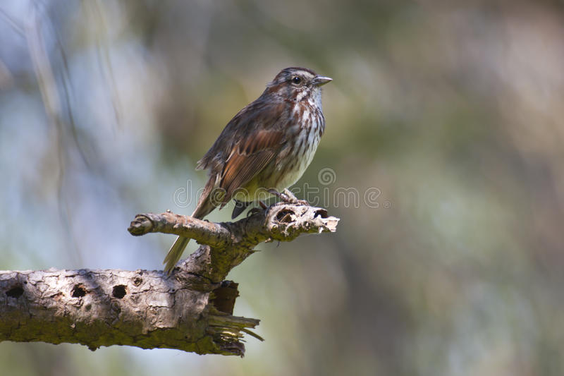 Download Song Sparrow stock photo. Image of perched, melodia, american - 17134224