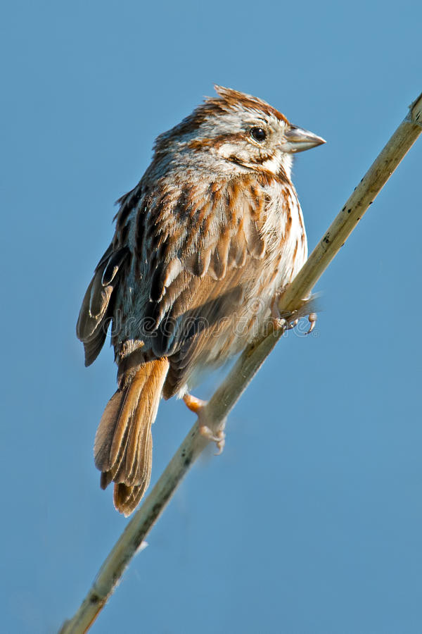 Download Song Sparrow stock photo. Image of song, songsparrow - 24548854