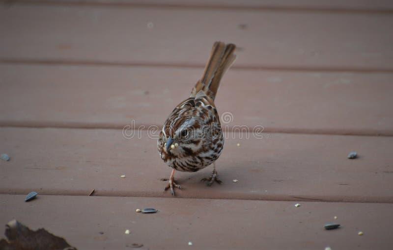 Spring Song sparrow bird eating birdseed stock photos