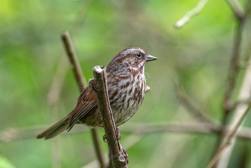 A song sparrow bird perched on a tree branch. royalty free stock images