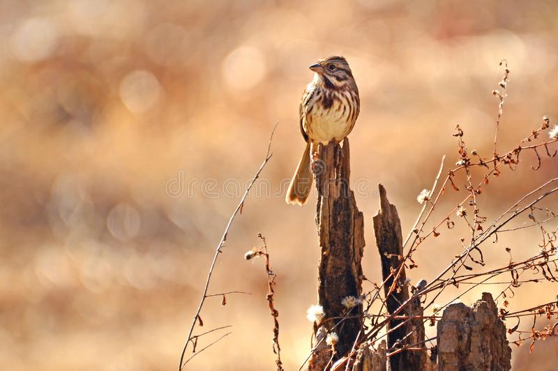 Song Sparrow on Fall Season Day stock image