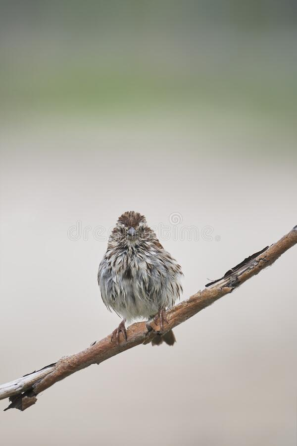 Song Sparrow Interesting Pose stock images