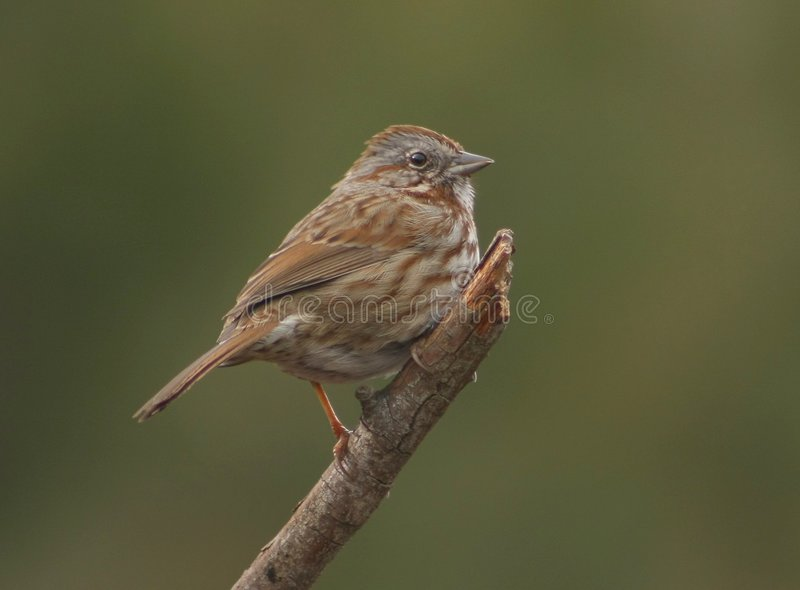 Download Song Sparrow (Melospiza Melodia) Stock Image - Image: 8637341