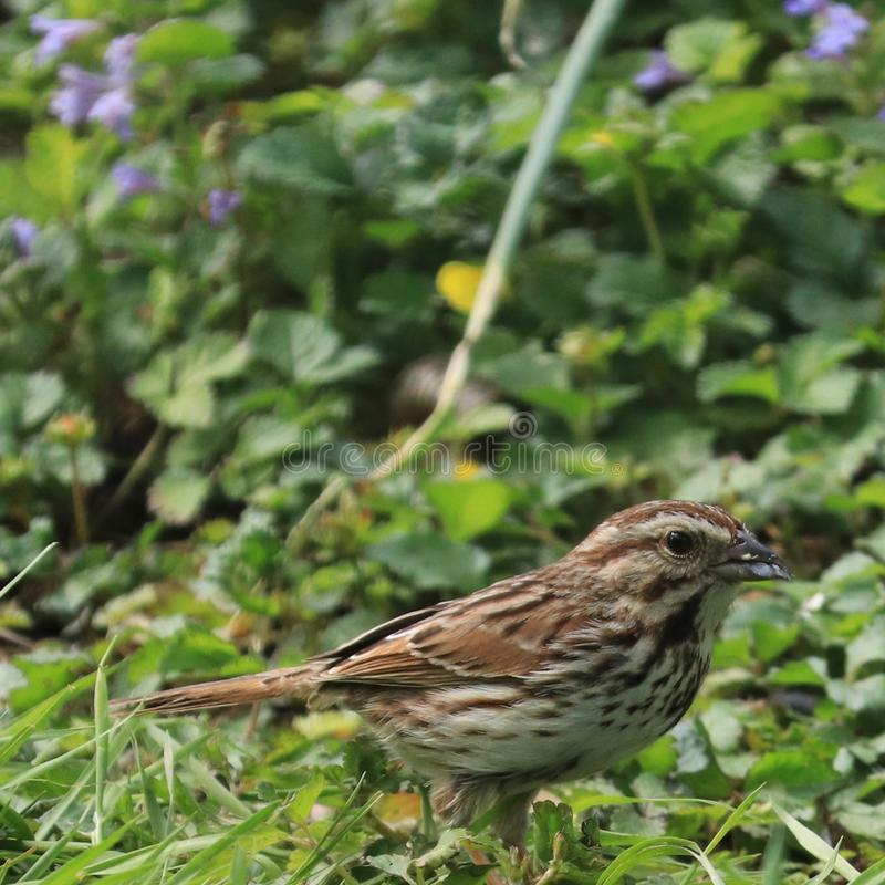 Song sparrow Melospiza melodia with streaked chest in patch of creeping Charlie weeds royalty free stock photography