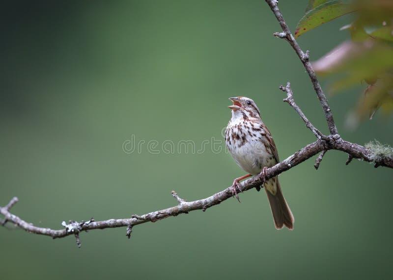 Song Sparrow Singing In Spring In North Carolina