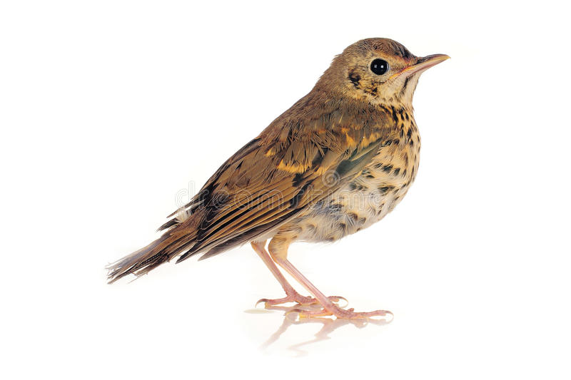 Song thrush. On a white background stock photo