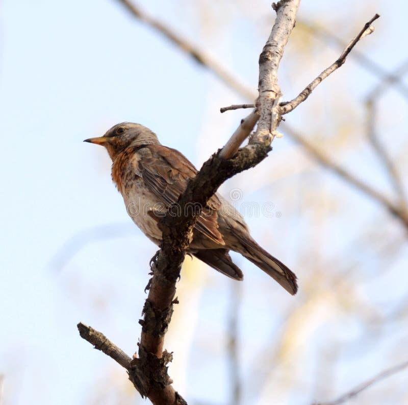 Download Song thrush stock photo. Image of bird, summer, sitting - 24445452