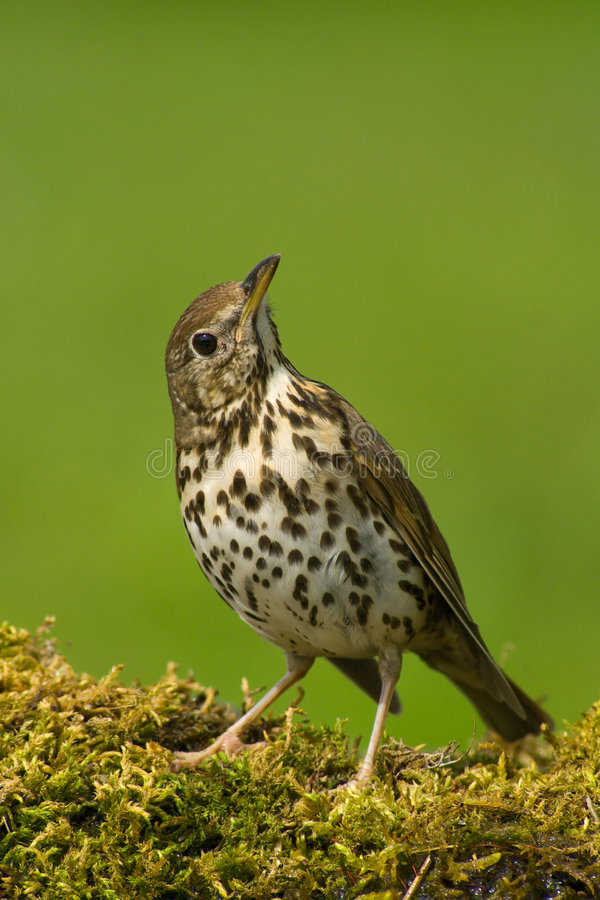 Free Song Thrush Royalty Free Stock Photography - 8552827