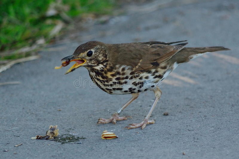 Song thrush eating snail stock photos
