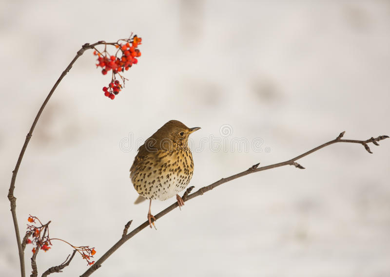 Song Thrush with Rowan berries stock images