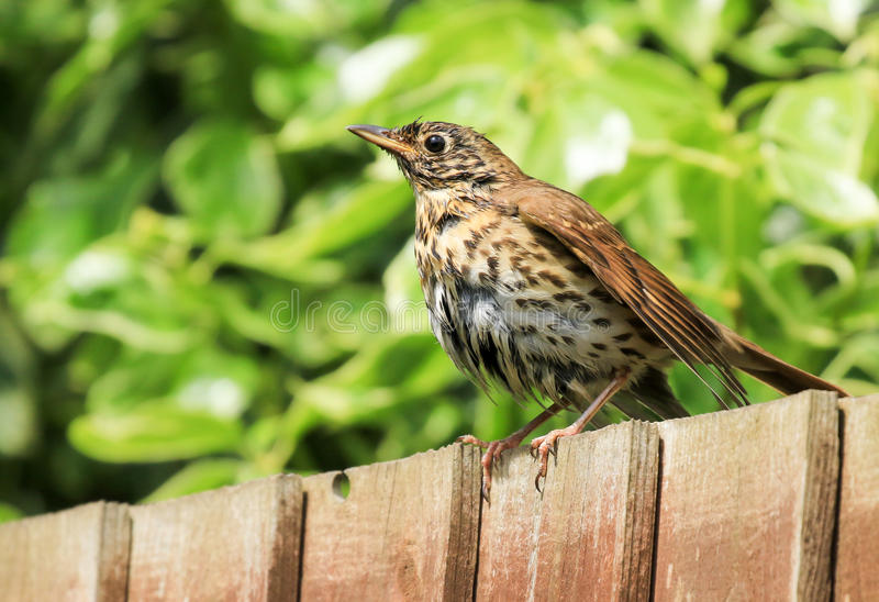 A song thrush sat on a garden fence. A song thrush sat on a wooden fence in english garden after just having a bath. wet feathers stock images
