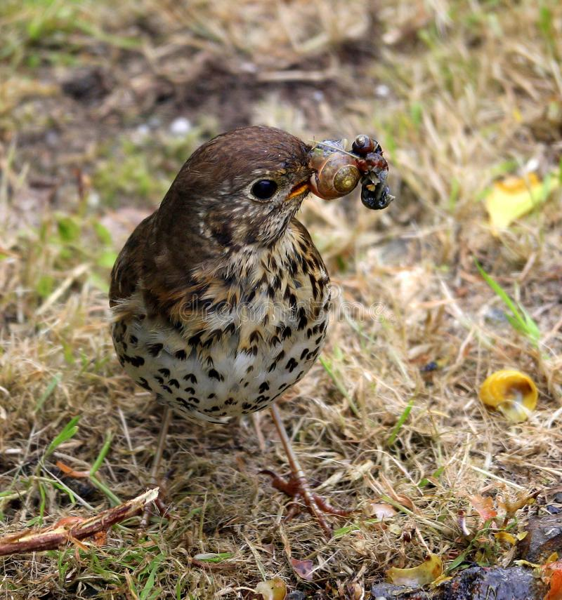 Song Thrush with snail stock images