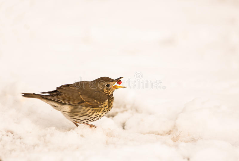 Song Thrush swallowing a berry stock images