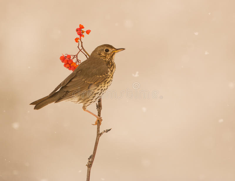 Song Thrush under a snowfall