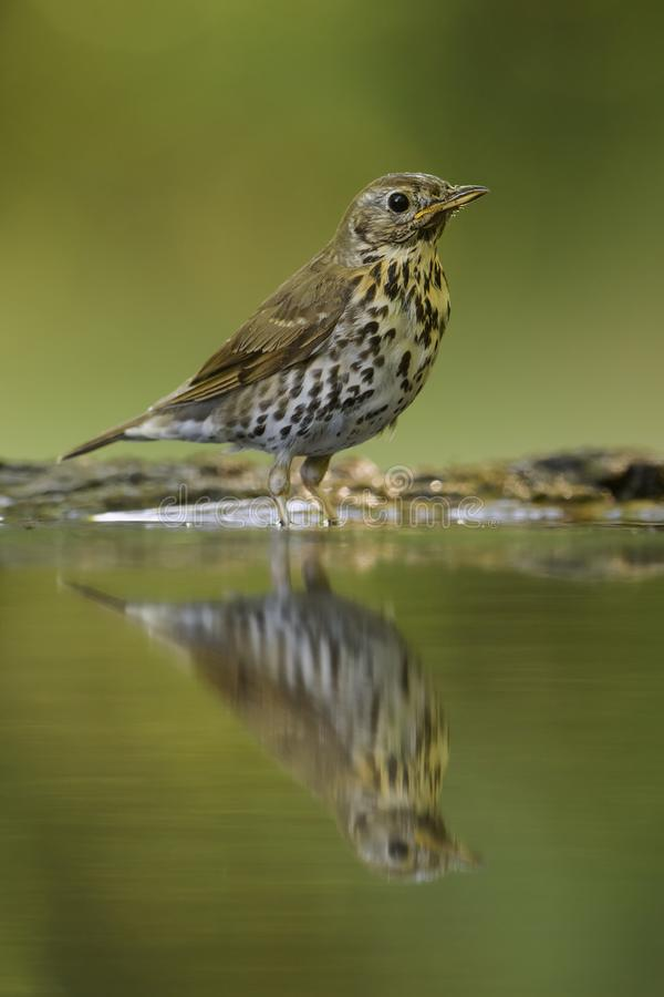 Free Song Thrush - Turdus Philomelos Royalty Free Stock Image - 121187466