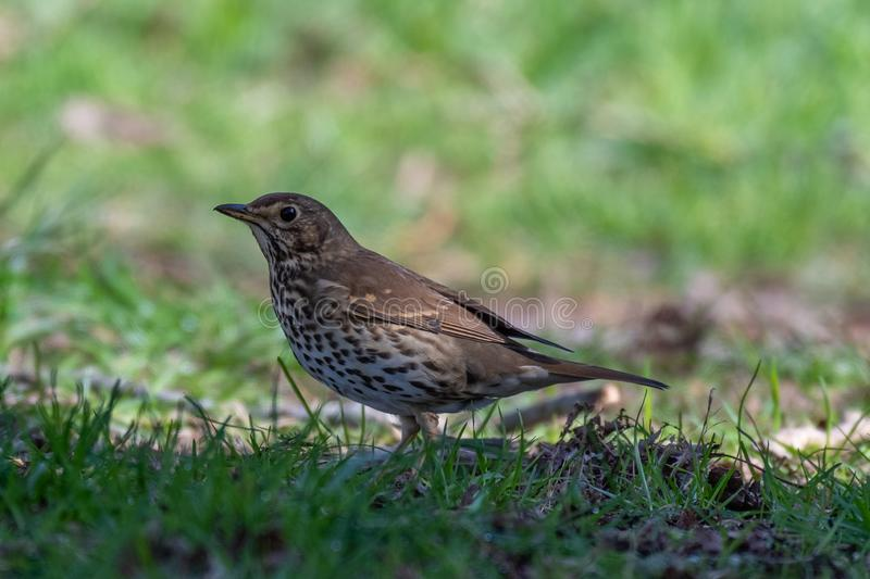 Song thrush Turdus philomelos stock photography
