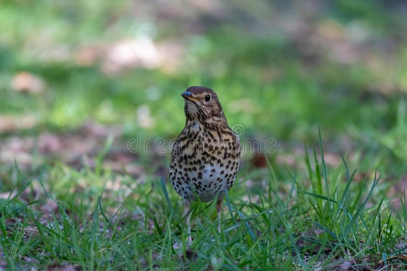 Song thrush Turdus philomelos royalty free stock image