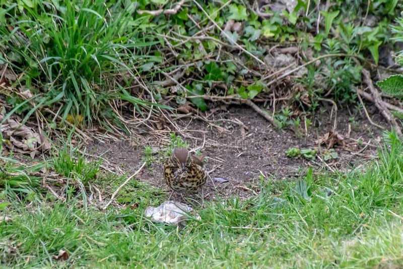 Song thrush Turdus philomelos preparing lunch by bashing a snail over a rock. Songthrush Turdus philomelos preparing lunch by bashing a snail over a rock royalty free stock images