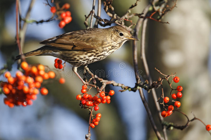 Song thrush, Turdus philomelos royalty free stock photography