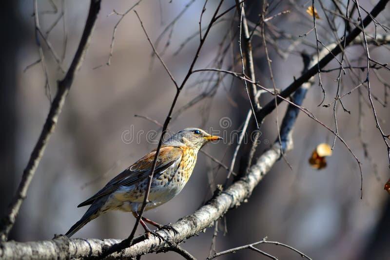 Download Song Thrush stock photo. Image of branch, hunter, birdwatcher - 33058762