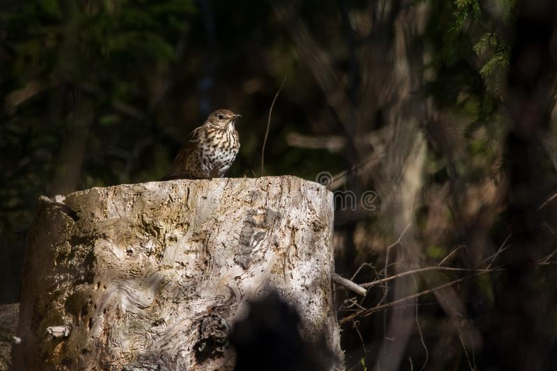 Song Thrush. Wild Song Thrush on a tree stump in a spruce forest, Estonia stock images