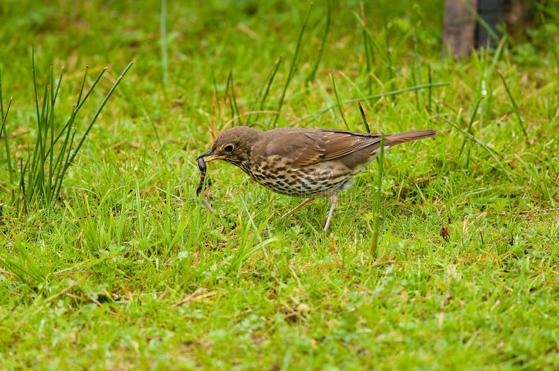 Song Thrush With Worm Royalty Free Stock Image
