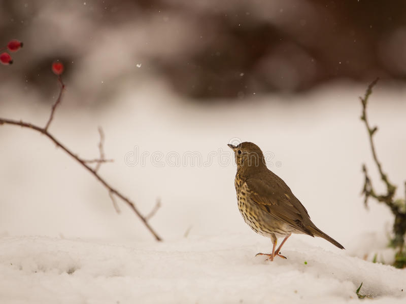 Download Song Trush on the snow stock image. Image of colors, iberia - 29652199