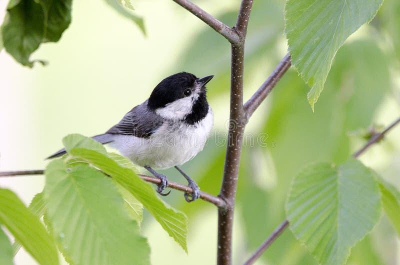 Songbird της Καρολίνας Chickadee, μπλε βουνά κορυφογραμμών, βόρεια Καρολίνα στοκ εικόνες με δικαίωμα ελεύθερης χρήσης