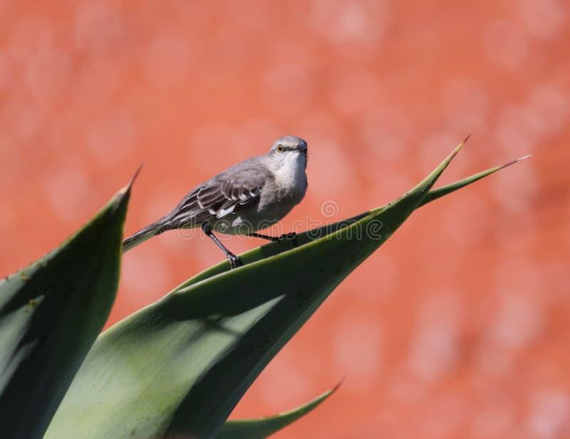 songbird fotografie stock