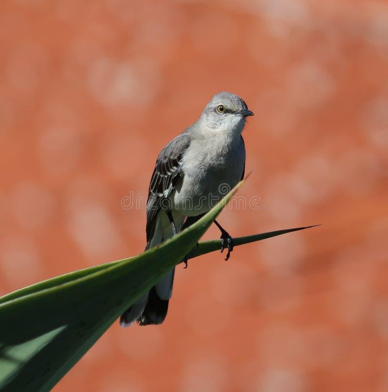 songbird fotografia stock