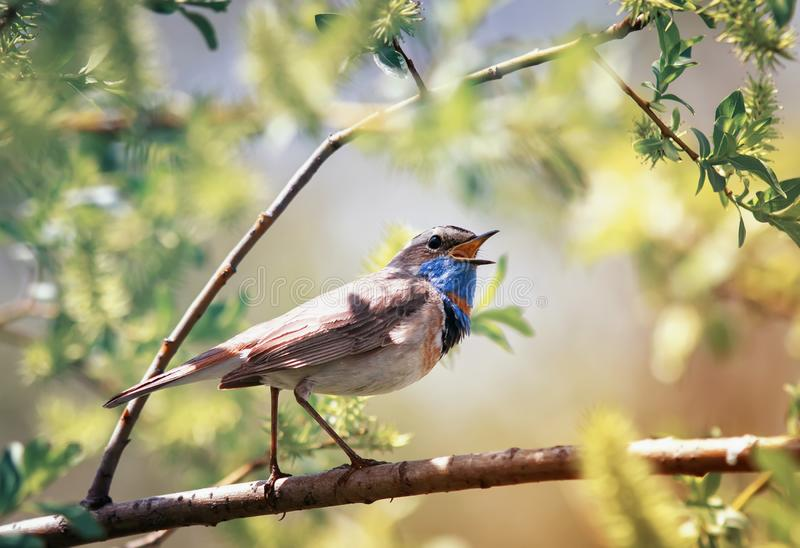 Songbird male Bluethroat sits on the branches of willow in the spring Sunny garden and sings obrazy royalty free