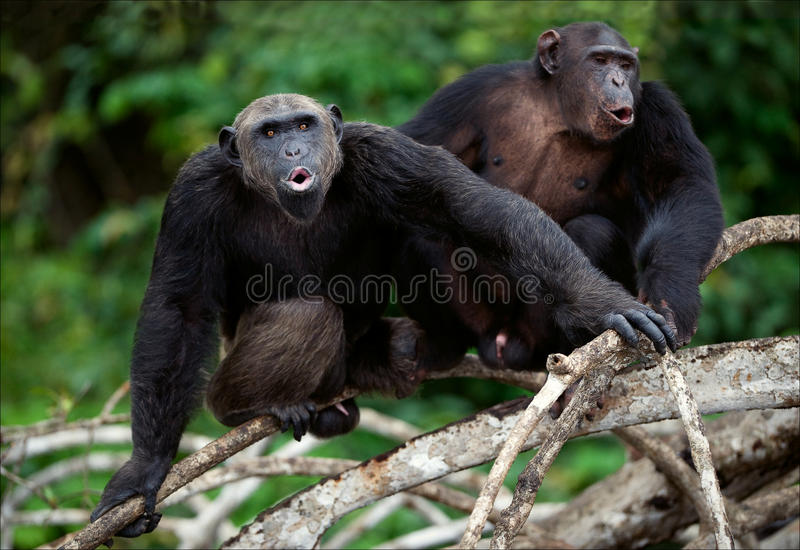 Songs. Chimpanzees sit on a tree branch in wood and songs bawl stock photography