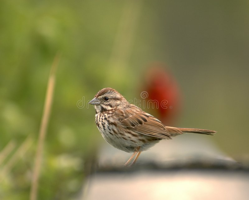 songsparrow royaltyfri foto