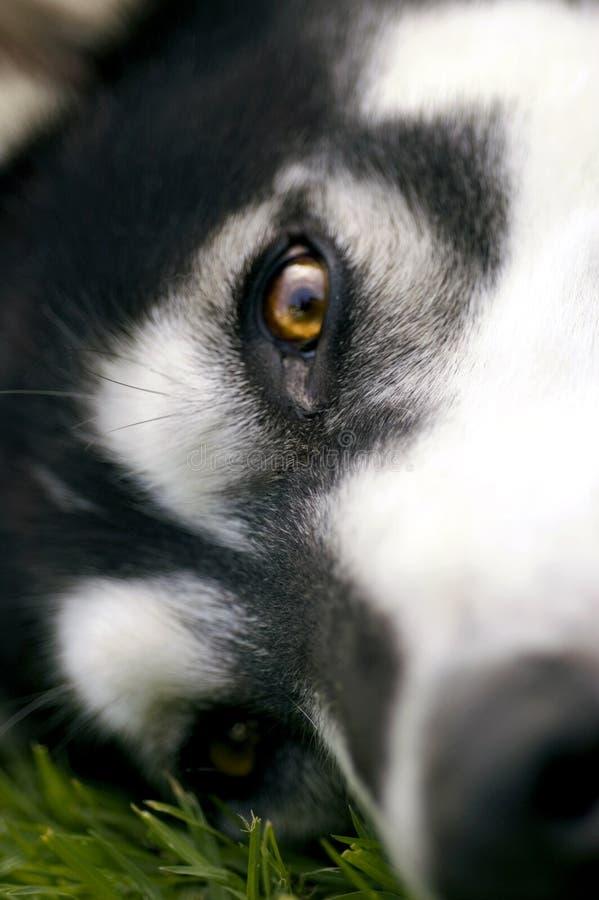 Sonho do dia do cão de puxar trenós Siberian foto de stock