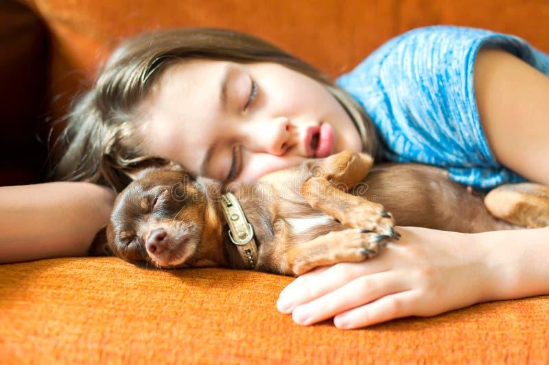 Sonho doce cão de Brinquedo-Terrier que dorme com seu proprietário da menina imagem de stock