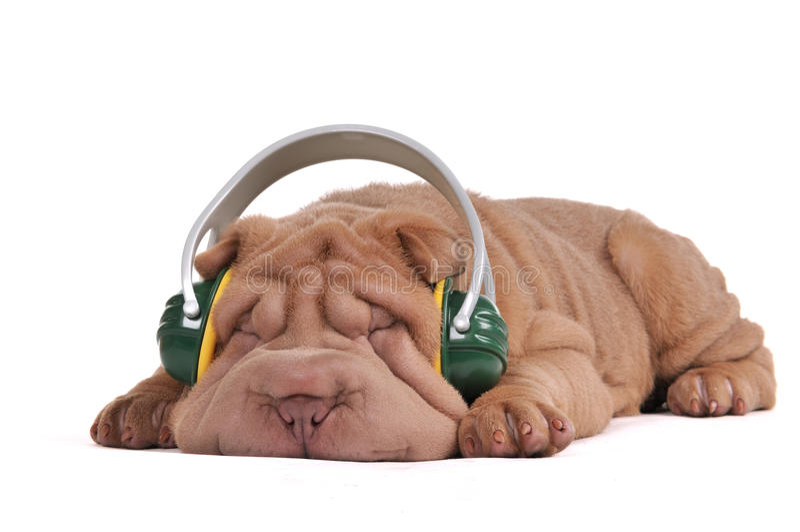 Sonhos da música de Shar-Pei imagem de stock