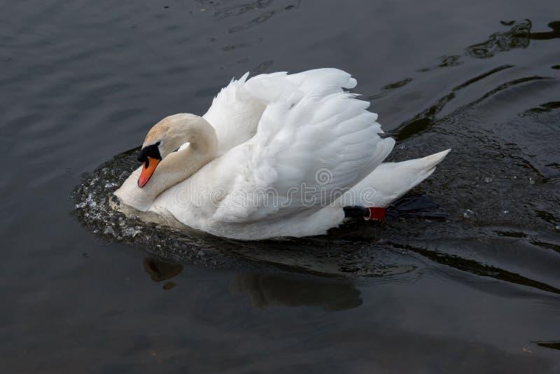 Sonic Swan fotos de stock
