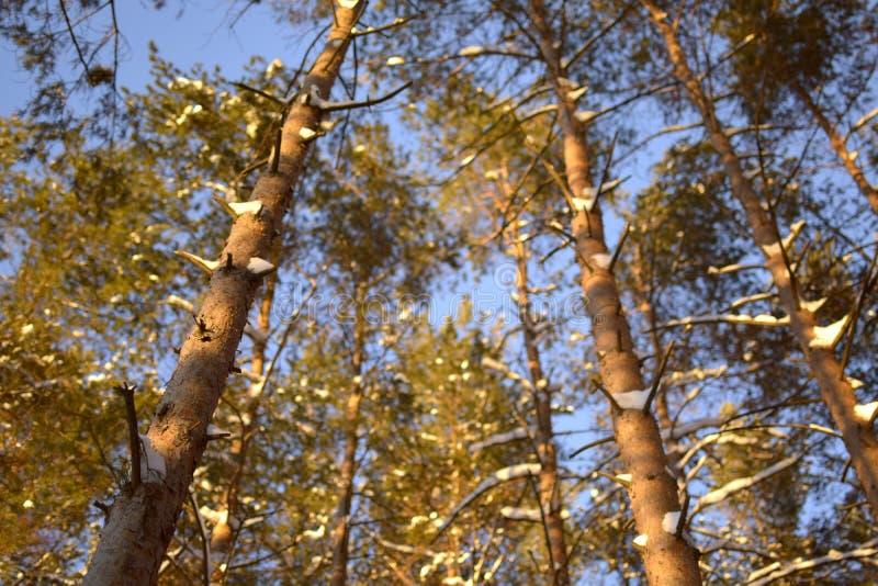 Sonne des blauen Himmels durch die Bäume lizenzfreie stockfotografie